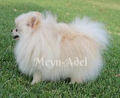 Meynadel Winzige Krumel - Cream Pomeranian
