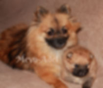 Orange Sable Mother & Baby Pomeranian