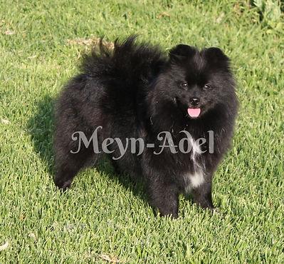 Browdeen Belleza Mellizo of Meynadel - Black Parti factor