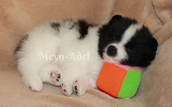 Meynadel Alano Cuartio - Black Parti Pomeranian sleeping