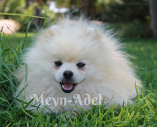 Browdeen Elvio Cesar'oso of Meynadel - Cream Pomeranian