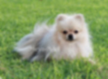 Picotiques Cha Troy Rolo of Meynadel - Cream Sable Pomeranian