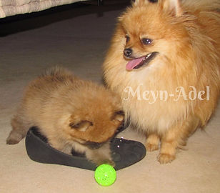 Meynadel Pomeranians - Orange & Orange Sable Playing
