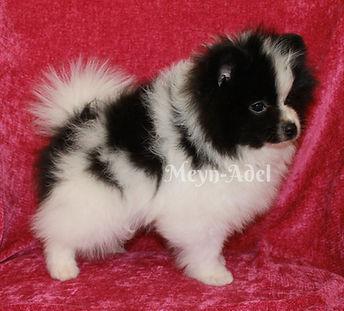 Meynadel Alano Cuartio - Black Parti Pomeranian Potty