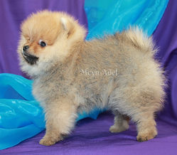 Meynadel Conor De Shamus - Orange Pomeranian