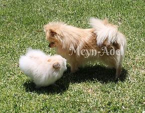 Meynadel Cream Pomeranians
