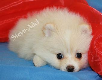 Meynadel Harley Arlequin - Tired Cream Pomeranian