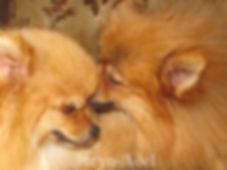 Meynadel Pomeranian puppies eating