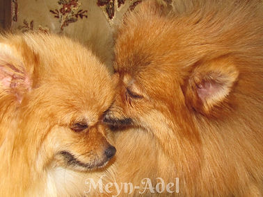 Meynadel Pomeranian puppies eating