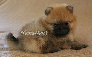 Meynadel Nascut Vali - Orange Sable Pomeranian