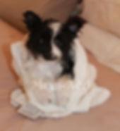 Meynadel Arcadia Galena - Black Parti Pomeranian bathed
