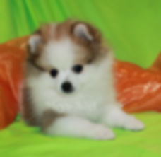 Meynadel Travieso Zorro - Orange Parti Pomeranian