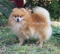 Ambers Shamus - Orange Pomeranian