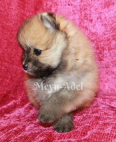 Meynadel Vasil Flavi'urs - Orange Sable Pomeranian