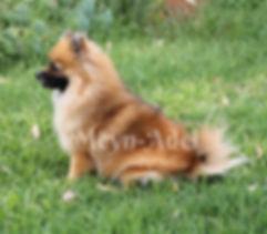 Duches Dolores - Orange Sable Pomeranian