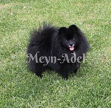 Browdeen Belleza Oscuro of Meynadel - Black Pomeranian