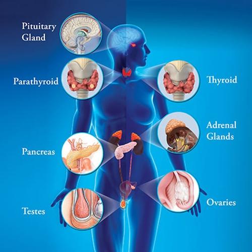 Endokrin Sistem Nedir.jpg