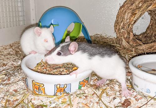 Tier der Woche_Ratten_1.jpg