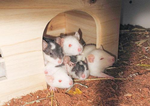 Tier der Woche_Ratten_2.jpg