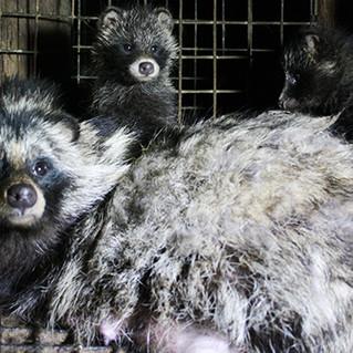 Tierqual und Risiken für Pandemie