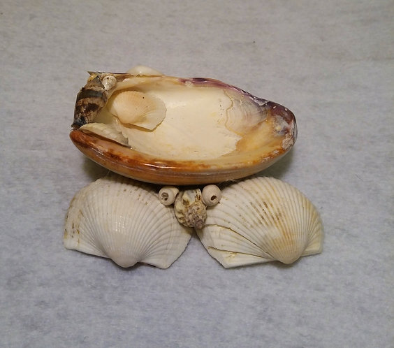 Quahog Seashell tray, front view