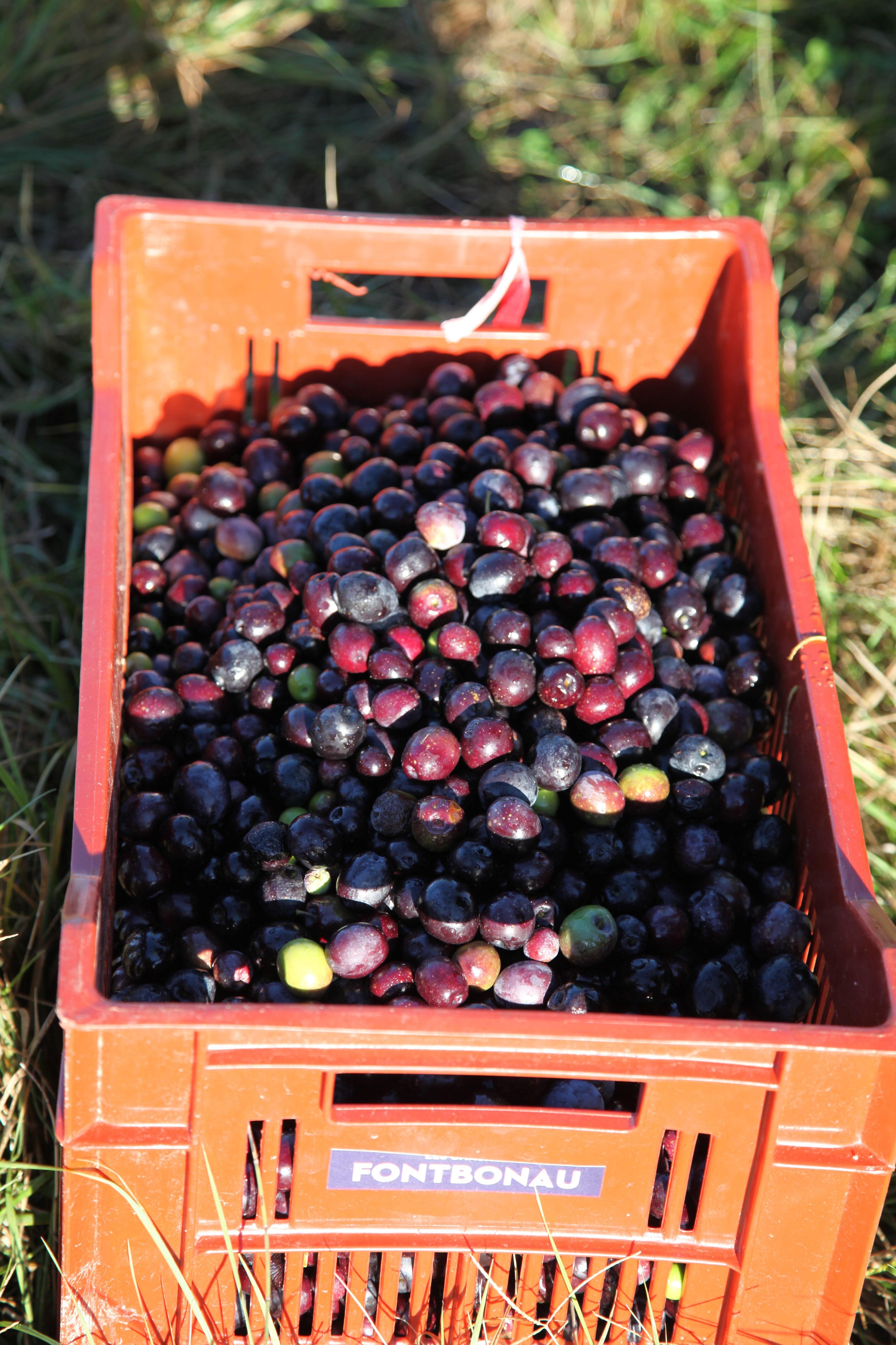 Ramasse olives panier.jpeg
