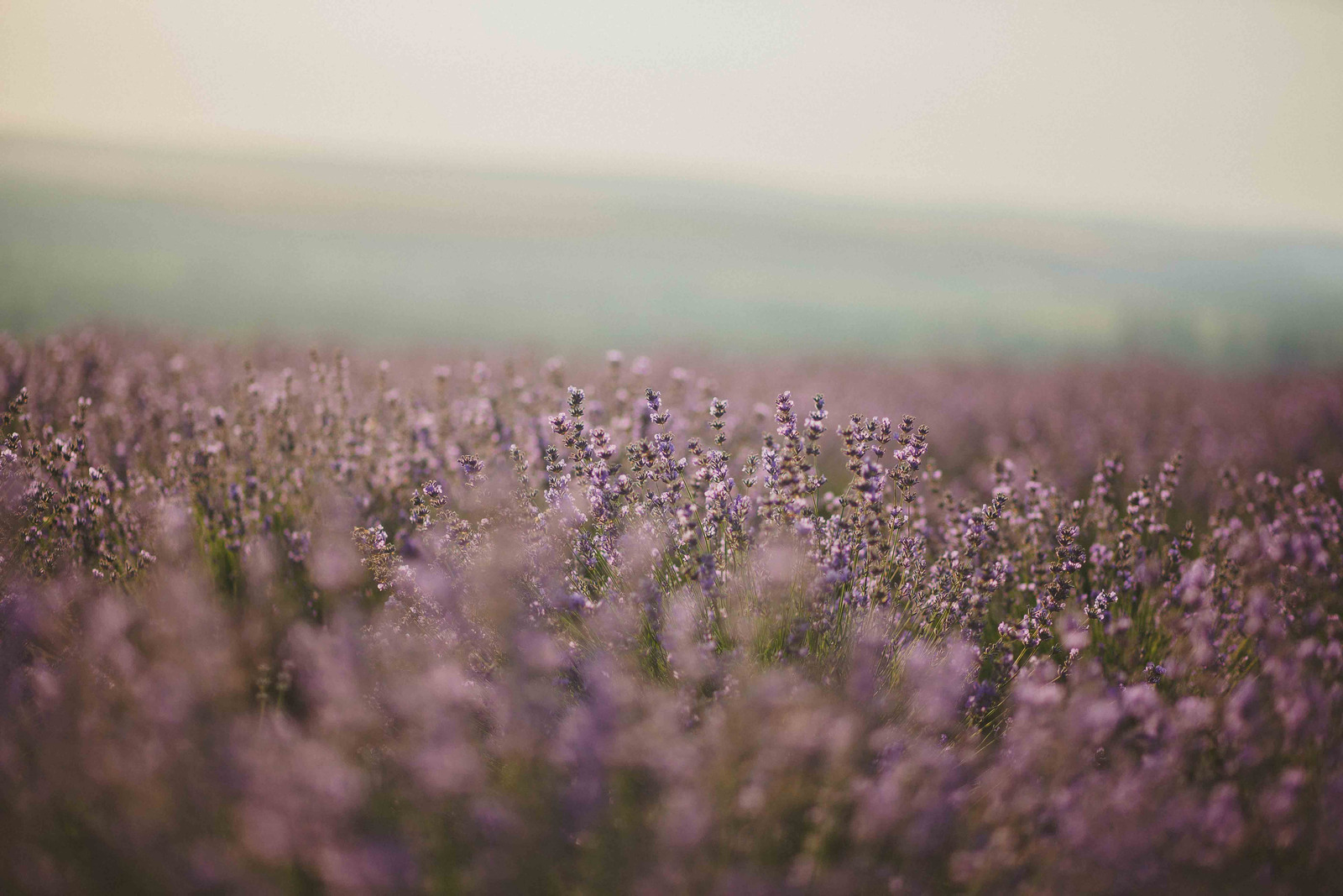 Canva - Lavender Flower Field