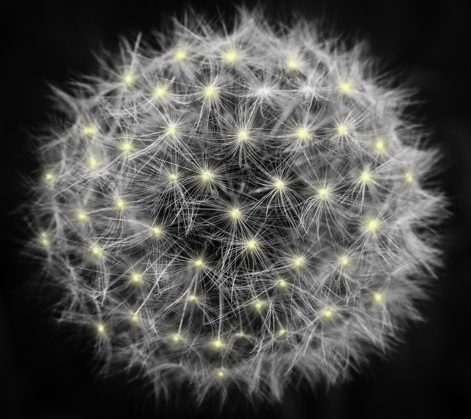 Canva - White Dandelion