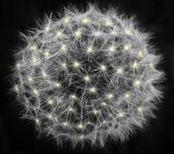 Canva - White Dandelion