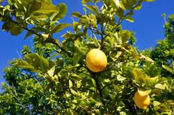 Lemons in back yard