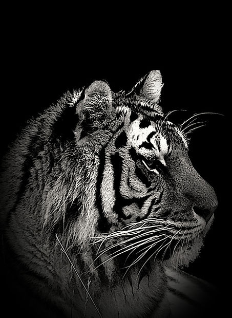 Tigre%2520en%2520noir_edited_edited.jpg