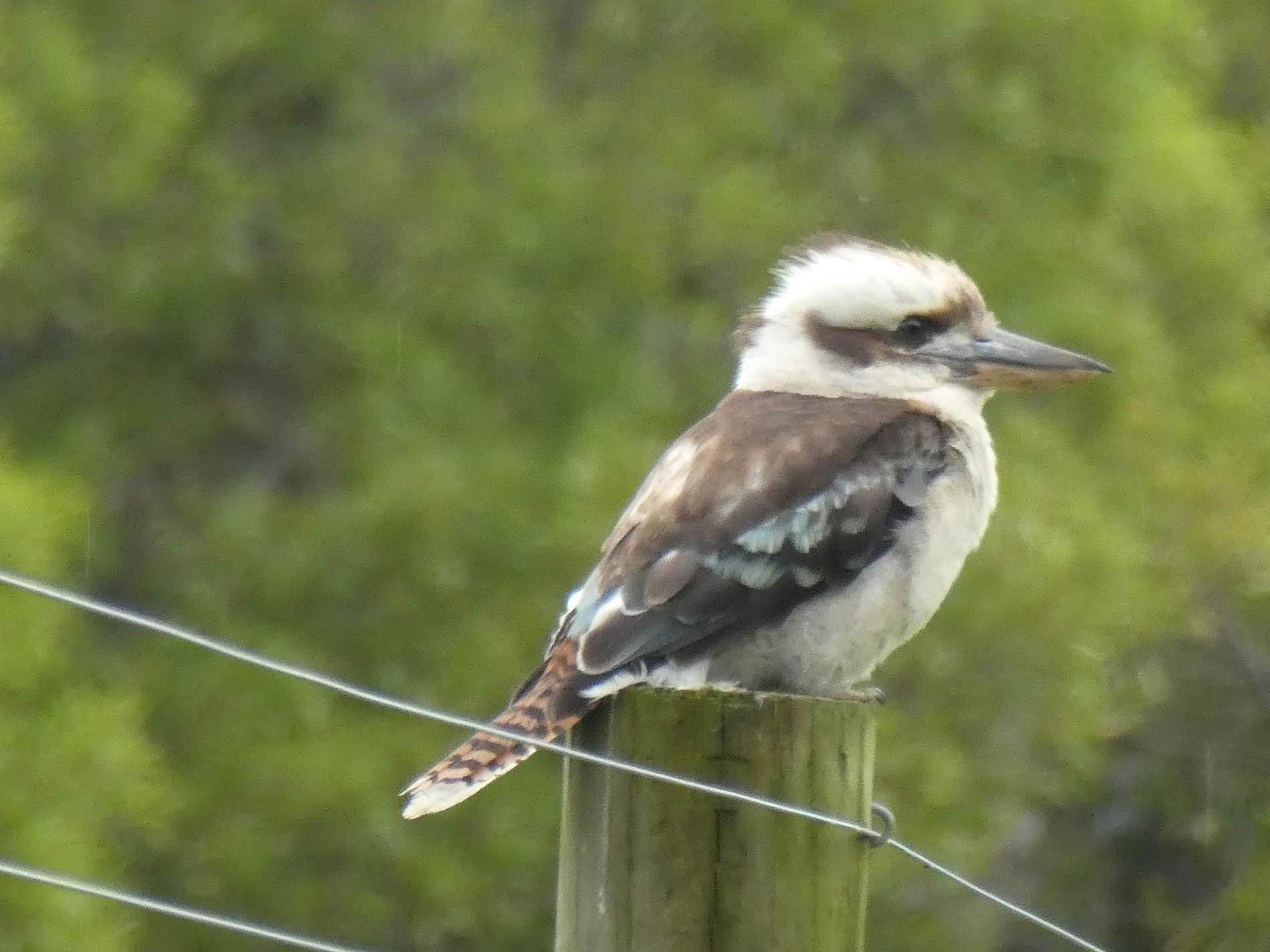 Young kookaburra on fencepost at Red Hill Ridge