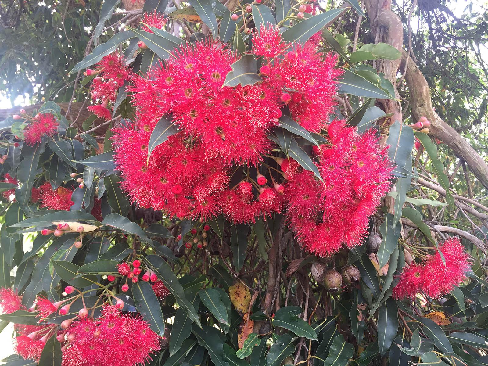 Corymbia, 'Summer Glory' (flowering gum)