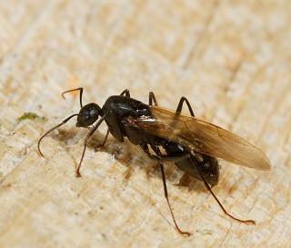 Termites and Carpenter Ants In Maine