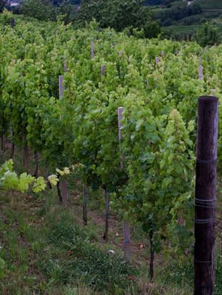 Silveri vinograd Kozana.jpg