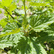 Foraging Diaries - Common Nettle - Urtica dioica