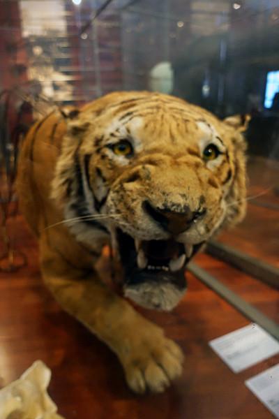 Kelinsgrove-tiger.jpg