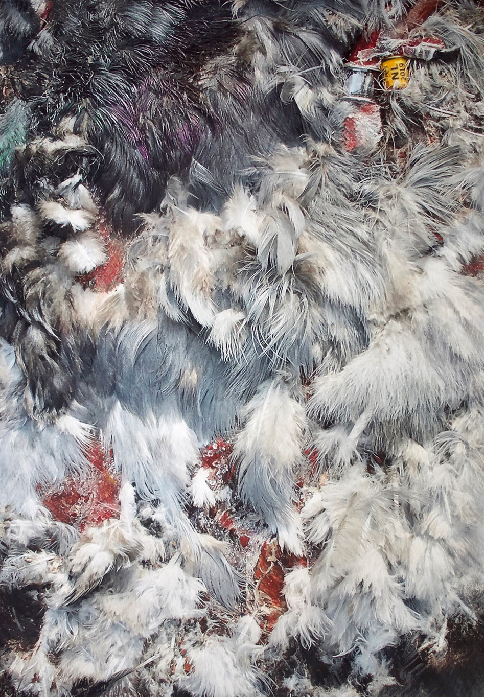 Reisduif // Homing pigeon, Belzele