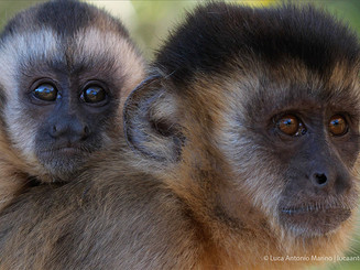 capuchins_1_orig.jpg