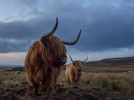 Highland cows are Scottish cattle breed. Their distinguishing characteristics are the long horns and the long, wavy, wooly coat that make them suited to the cold and windy conditions of the Highlands.