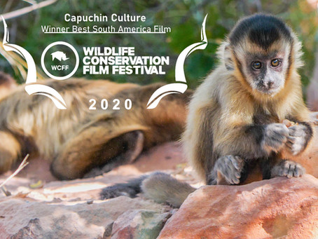 Capuchin Culture Winner Best South America Film at the Wildlife Conservation Film Festival