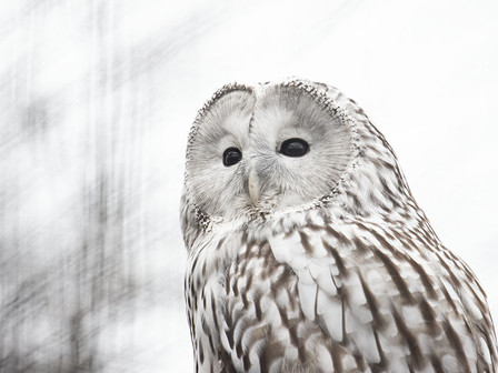 Ural owl (Strix uralensis) photographed at Chester Zoo.