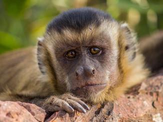 k2-monkey-gaze_orig.jpg