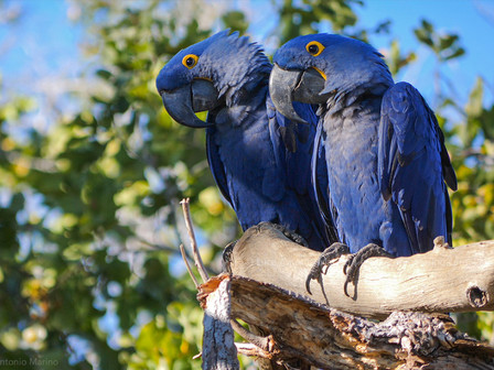The hyacinth macaw (Anodorhynchus hyacinthinus) is native to South America and it is the largest flying parrot in the world. Due to the cage bird trade and habitat loss, the populations of this species have suffered rapid reductions. In the 1980s, an estimated 10,000 birds were taken from the wild. Nowadays this species is qualified as vulnerable on the IUCN Red List of Threatened Species.