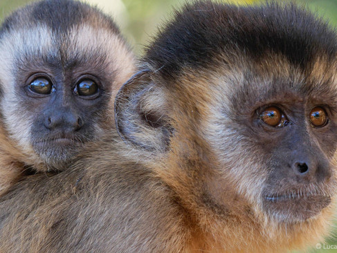 Capuchin Culture Mother and baby 2.jpg