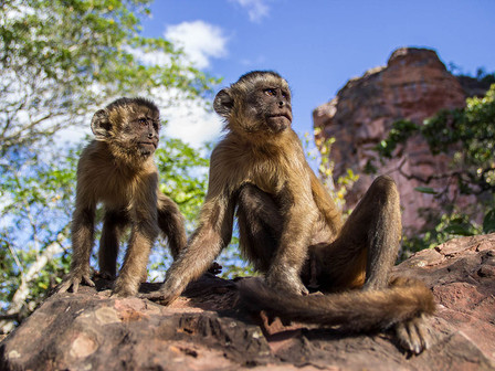 Capuchin monkeys (Sapajus libidinosus). This primates live in an ecosystem whose fragile balance is now threatened by the anthropic impact and, in particular, by the great expansion of intensive agriculture which is endangering the survival of many animal species. Researchers recently estimated that agriculture in this area increased by more than 350 per cent between 2000 and 2017. Habitat degradation threatens the survival of this population of capuchins and their cultural traditions, which are unique, such as the use of stone tools to crack open the palm nuts they eat. If we do not put a stop to the overexploitation of this environment, we risk losing forever the extraordinary behaviour of these primates.