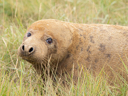 Grey seal (Halichoerus grypus) in Donna Nook National Nature Reserve.