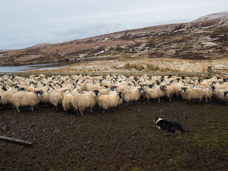A shepherd dog is guarding a flock of sheep on the Isle of Skye (Scotland).