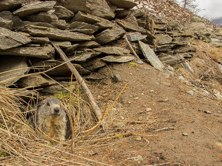 A marmot peeks out its den in Valsavarenche, Gran Paradiso National Park.