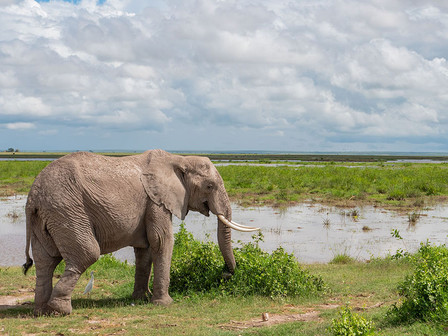 An elephant in the Amboseli National Park.